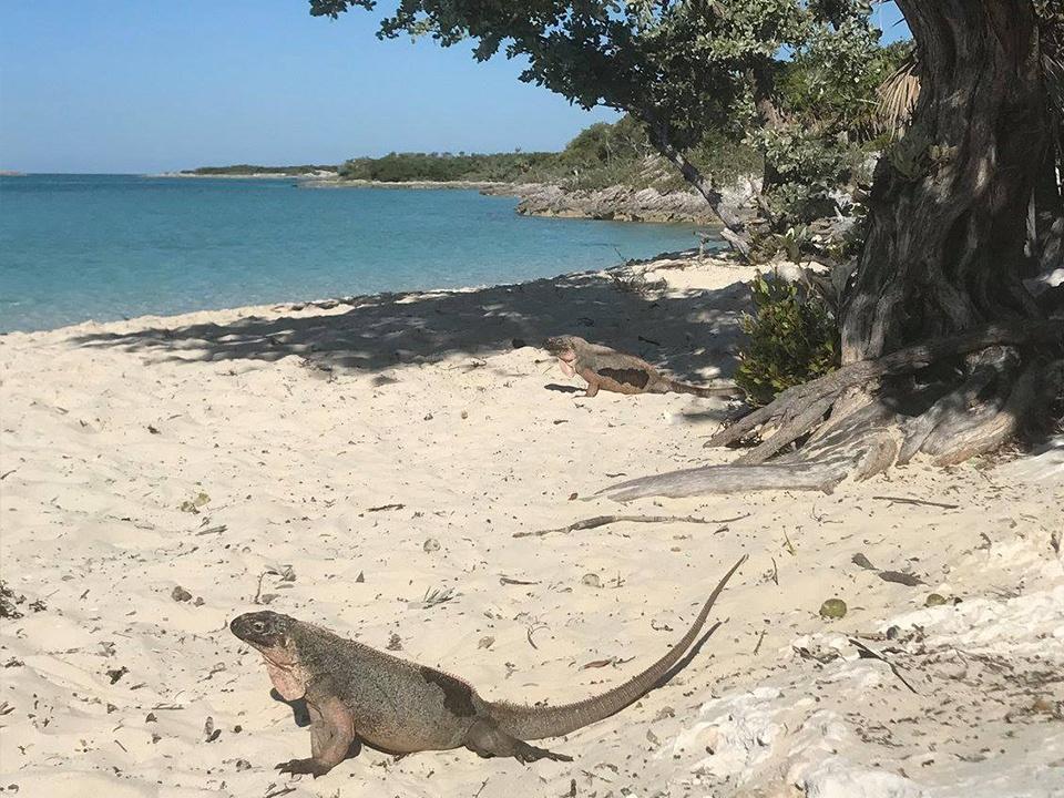 Iguana at Allans Cay