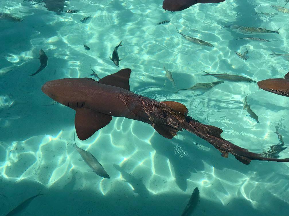 Nurse shark - Compass Cay