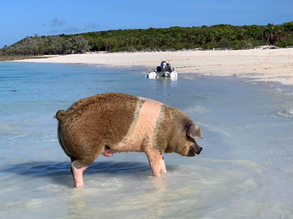 The big pig at Big Major