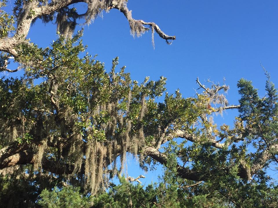 SS3 - Jekyll Island -4 - moss draped oaks