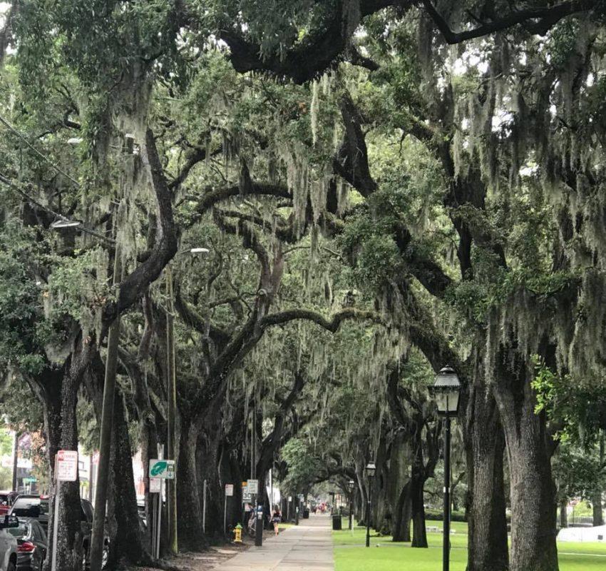 Savannah - moss draped oaks