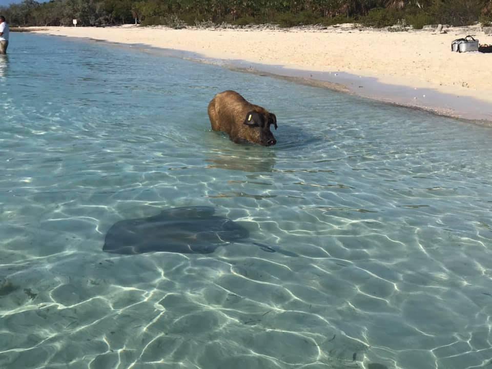 Big Major Pig Beach - pig and ray
