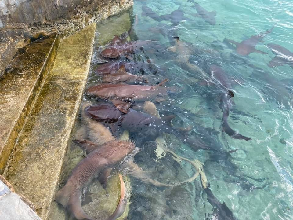 SCYC sharks